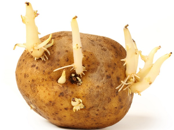 Tốt nhất là không nên sử dụng khoai tây mọc mầm